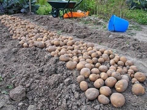 Картофель киви – описание сорта, характеристика, фото и отзывы