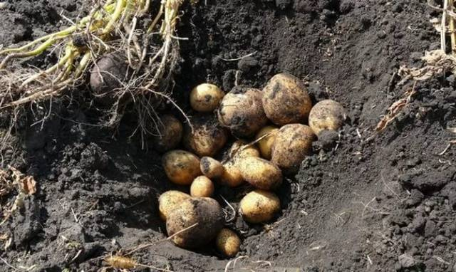 Сорт картошки венета: описание, фото и отзывы