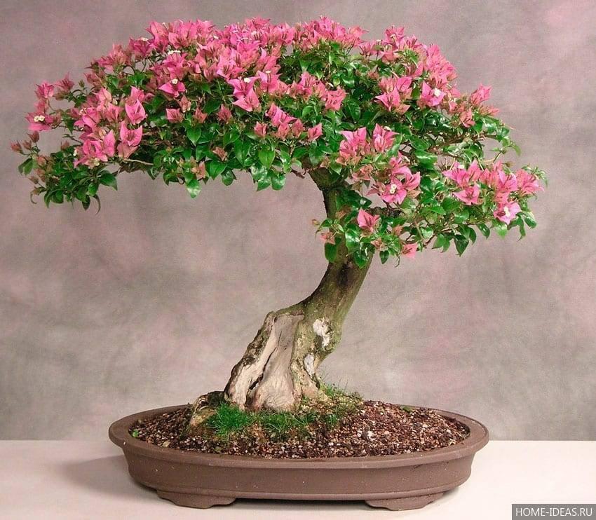 Как вырастить миниатюрное дерево в домашних условиях: все об искусстве бонсай - sadalisa.ru все о цветах и растениях
