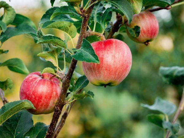 Яблоня мечта — высокоурожайный летний сорт, приносящий до 150 кг плодов с дерева