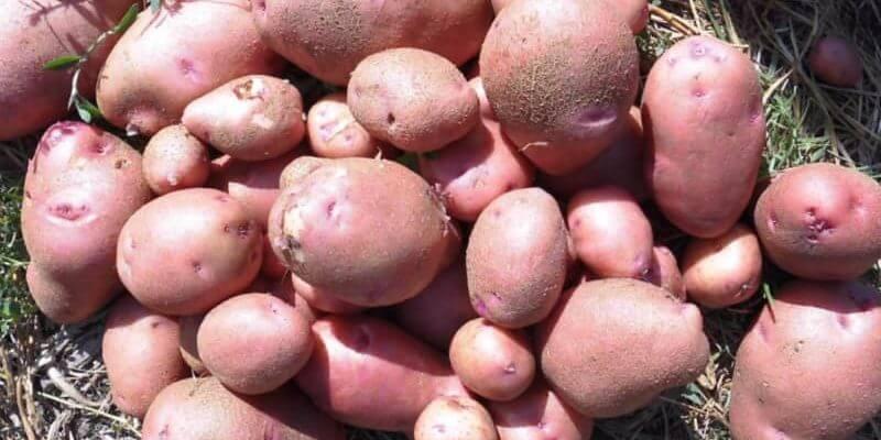 Картофель любава: описание и характеристики сорта, посадка и уход, отзывы с фото