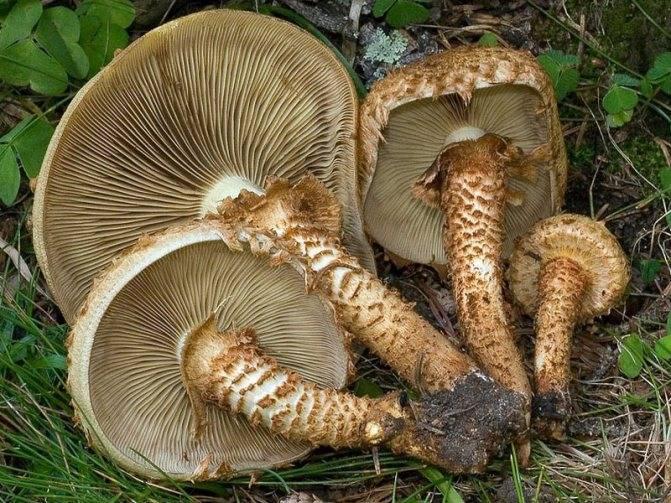 Съедобная чешуйчатка: фото и описание гриба