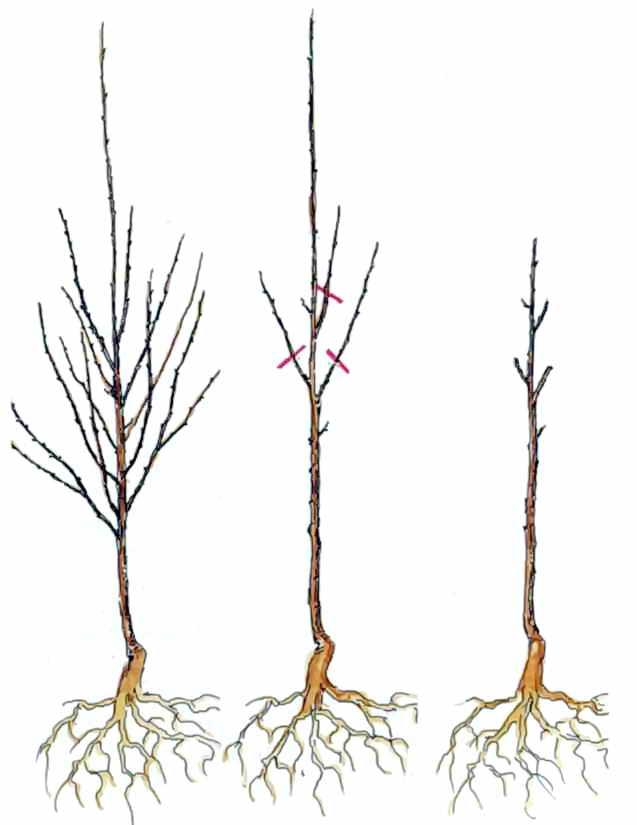 Обрезка вишни: как правильно обрезать, осенью или весной, схема для новичков