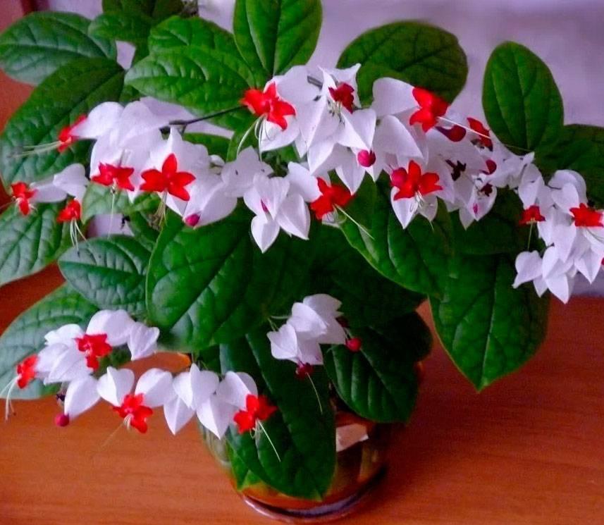 Клеродендрум томпсона: уход за растением в домашних условиях