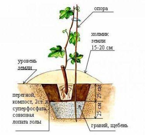 Виноград изабелла: основные характеристики, особенности посадки и ухода