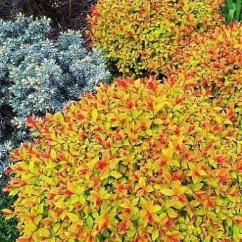 Особенности посадки и агротехника выращивания спиреи Голдфлейм