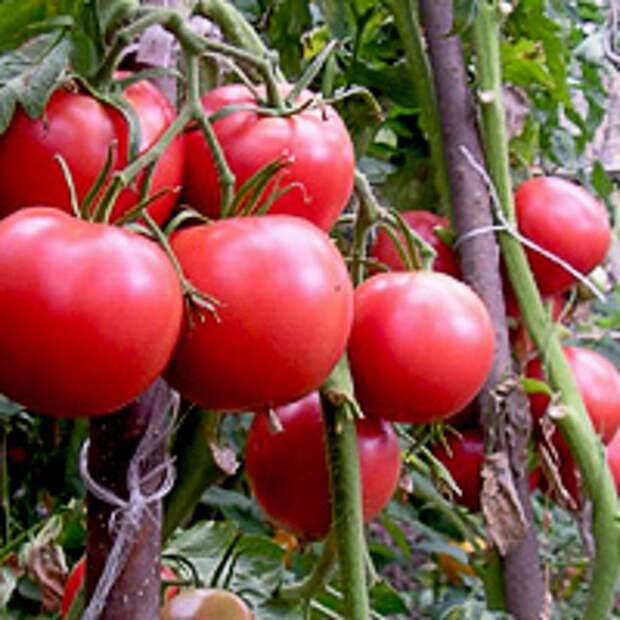 Детерминантные и индетерминантные сорта томатов - что это? - дачные советы.ру