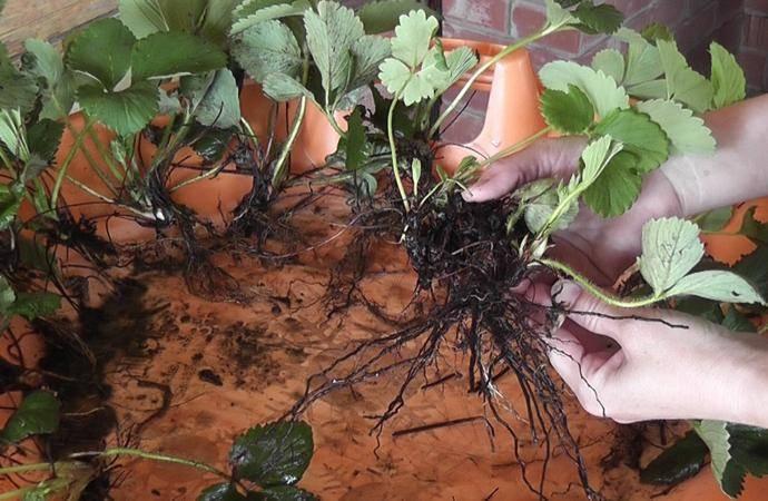 Размножение клубники усами - как и когда правильно начинать размножение клубники. советы, инструкции, 90 фото и видео