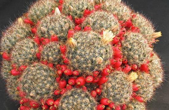 Тонкости ухода за кактусами рода маммиллярия