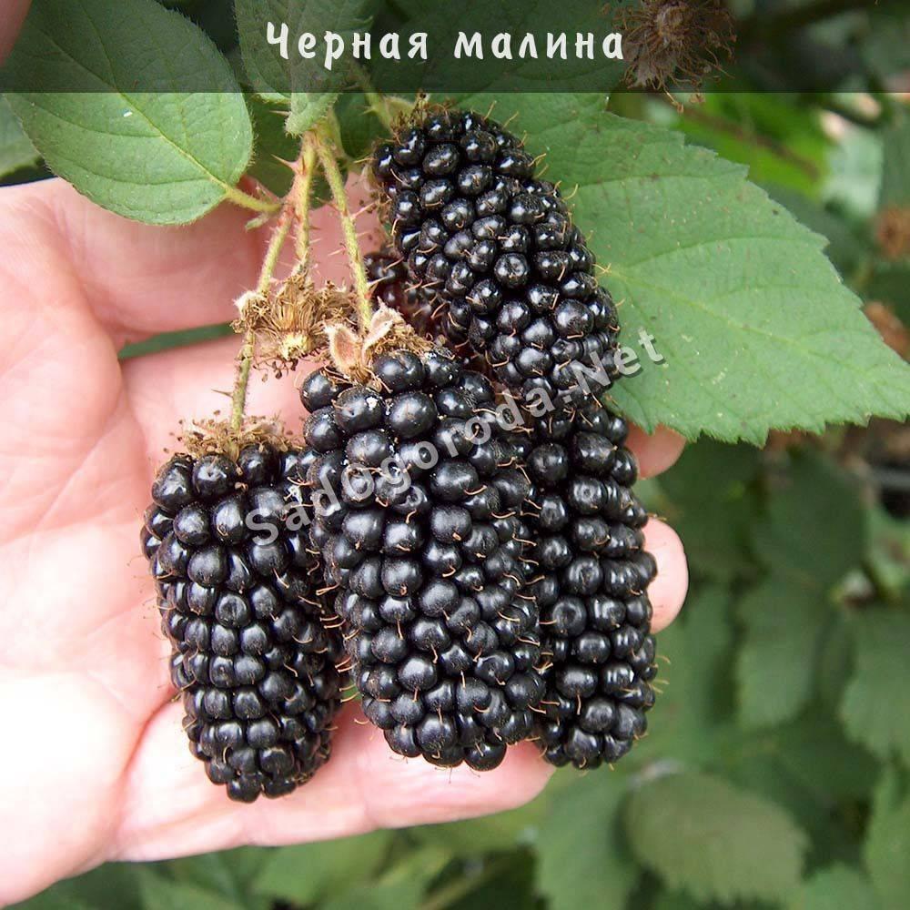 Черная малина кумберленд: посадка и уход, болезни и удобрения сорта, выращивание и размножение, фото