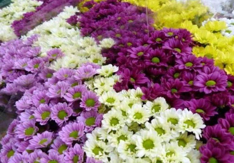 Хризантема (111 фото): как выглядят листья садовых цветов? как вырастить уличную хризантему? описание болезней, композиции с розами в ландшафтном дизайне на даче