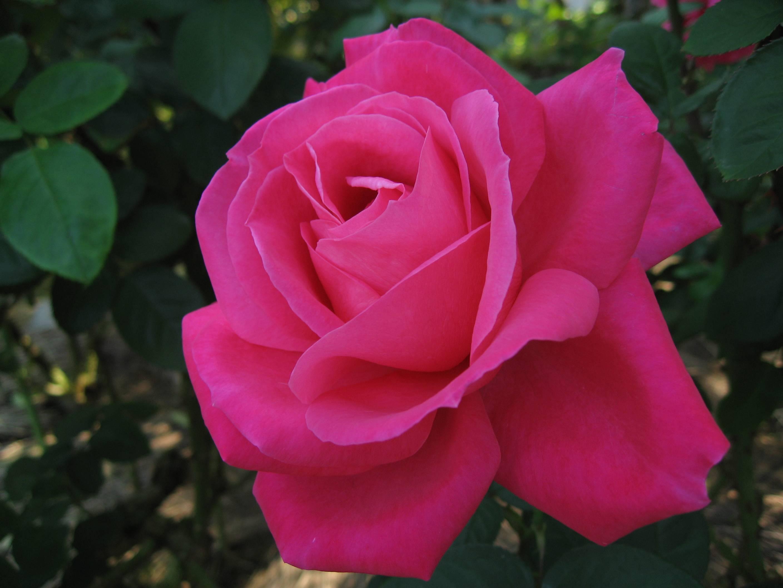 Чайно-гибридные розы: описание, сорта, посадка и уход