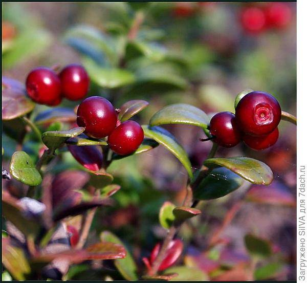 Брусника: виды с фото, выращивание, посадка и уход