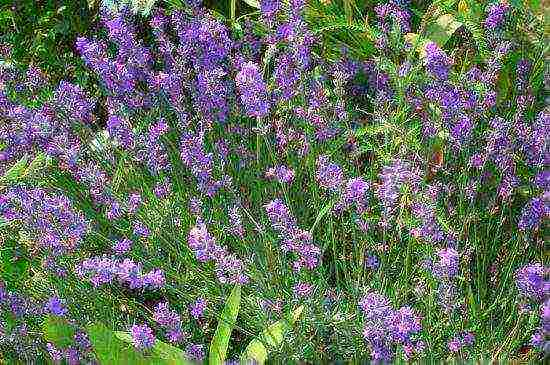 Лаванда в сибири: посадка и уход, особенности выращивания и укрытия на зиму
