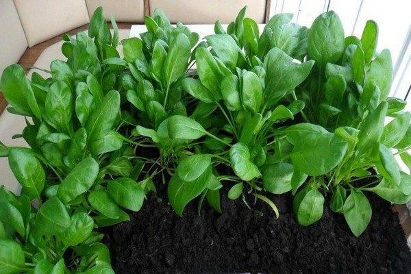 Выращивание шпината: правила посадки и ухода в открытом грунте