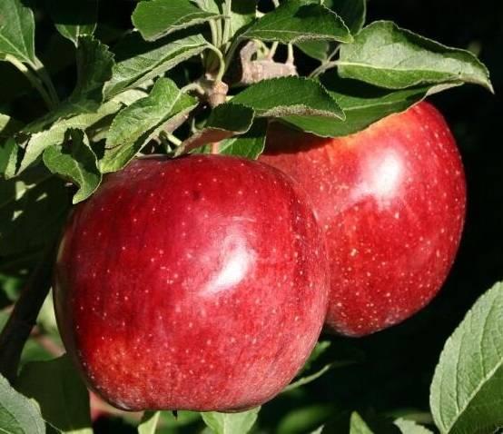 Яблоня имрус: описание сорта и фото, особенности и характеристики selo.guru — интернет портал о сельском хозяйстве