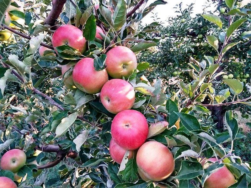 Яблоки айдаред: описание сорта, фото, отзывы, калорийность, польза