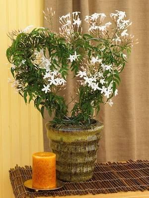 Цветок жасмин – описание, как выглядит, можно ли выращивать дома, особенности разных видов
