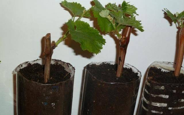 Как размножать виноград в домашних условиях черенками и отводами