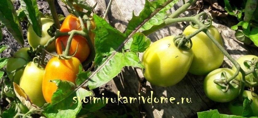 Томат перцевидный: разновидности на любой вкус и цвет