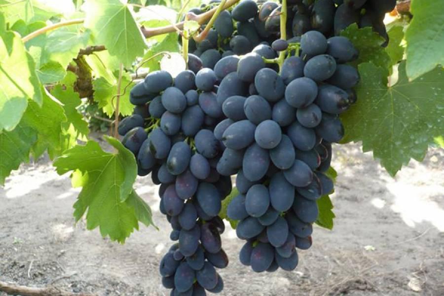 Виноград черный палец описание сорта фото отзывы