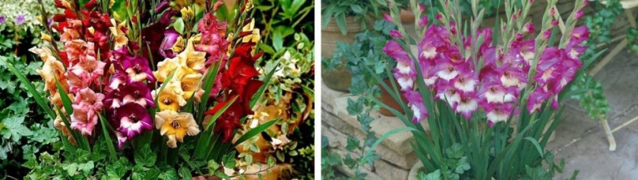 Как вырастить гладиолусы из луковиц в домашних условиях, на даче