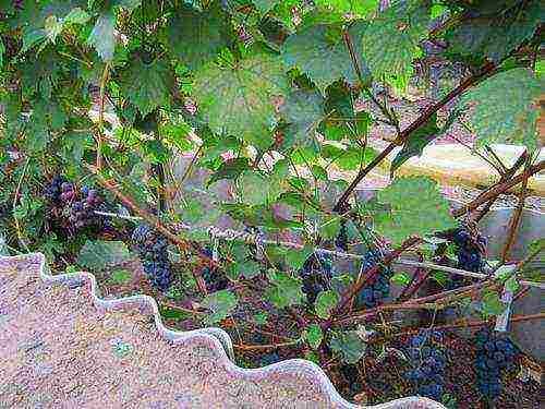 Девичий виноград: посадка и уход в открытом грунте