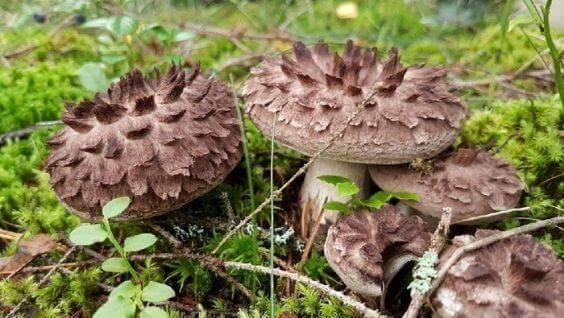 Ежовик гребенчатый – гриб, незаменимый для здоровья