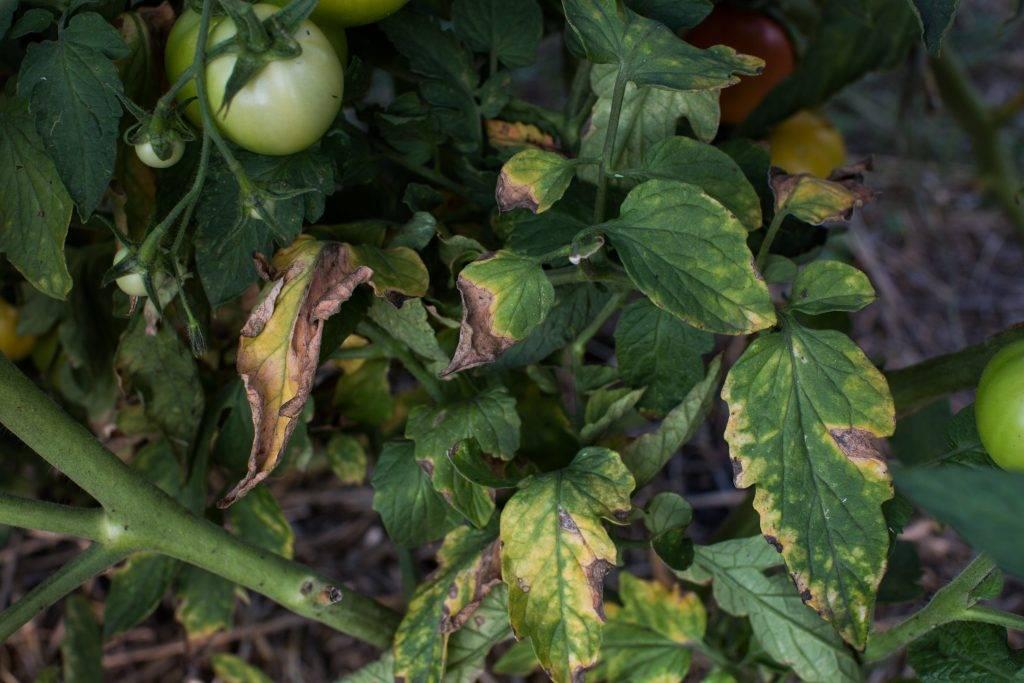 Почему белеют листья у помидоров в теплице - моё село
