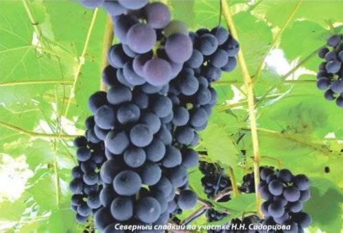 Северный виноград уход и посадка