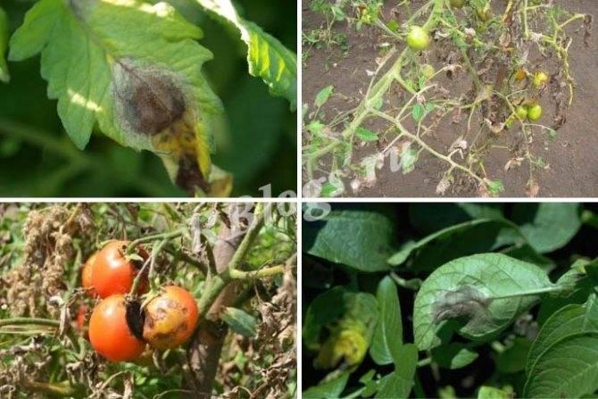 Фитофтора на помидорах, как бороться народными средствами - в теплице