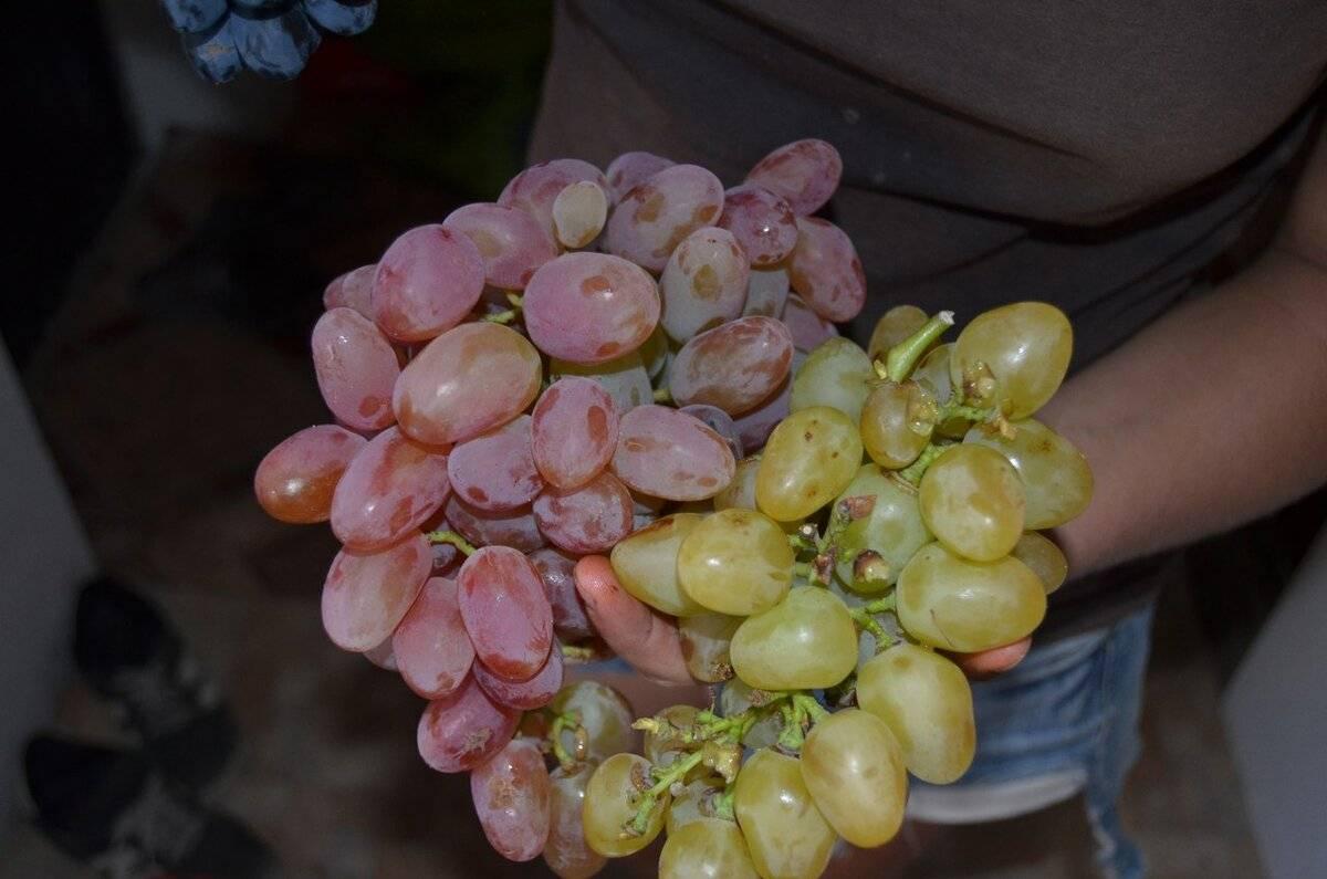 Когда укрывать виноград на зиму в подмосковье на урале в сибири в средней полосе как правильно укрыть виноград