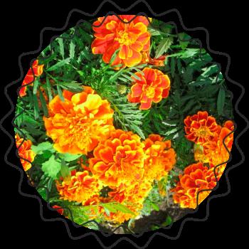 Тля на розах как бороться — применяем 10 лучших народных средств