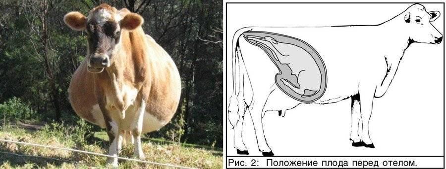 Сколько месяцев беременна корова: продолжительность стельности