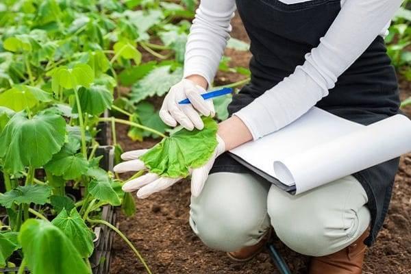 Почему вянут листья и завязи огурцов в теплице и открытом грунте