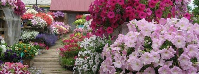 Чем подкормить петунию для обильного цветения: виды удобрений, советы