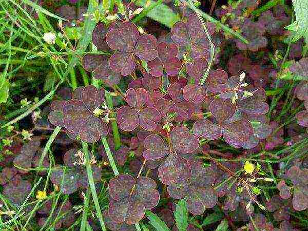 Заячья капуста (очиток обыкновенный) свойства растения