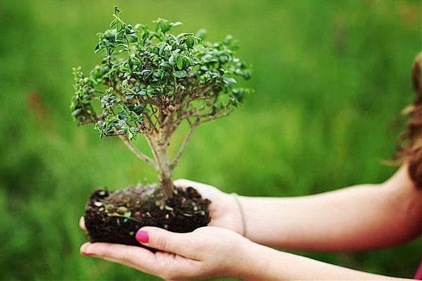 Как вырастить бонсай из семян в домашних условиях