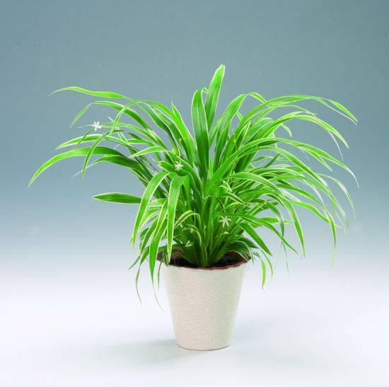 Хлорофитум: выращивание из семян, размножение, пересадка, виды, фото