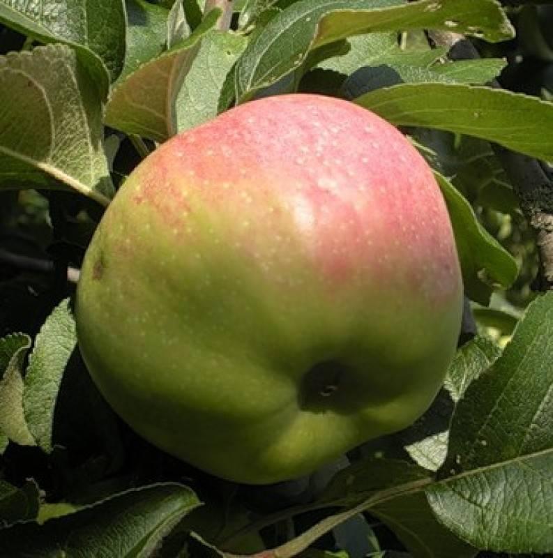Зимние сорта яблок, хранящиеся до весны: обзор и характеристики плодов, выдерживающих долгое хранение в течение всей зимы