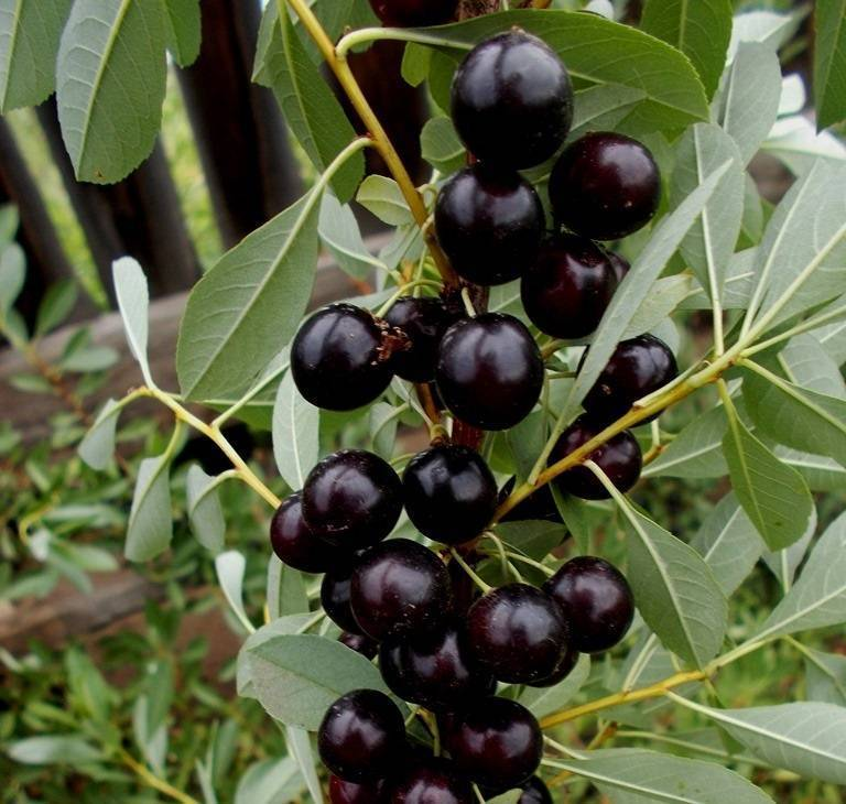 Вишня бессея: посадка и уход в открытом грунте, выращивание и размножение сорта, фото, отзывы