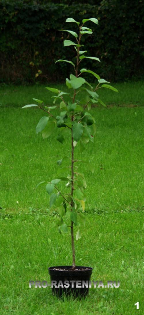Как посадить яблоню осенью — пошаговое руководство