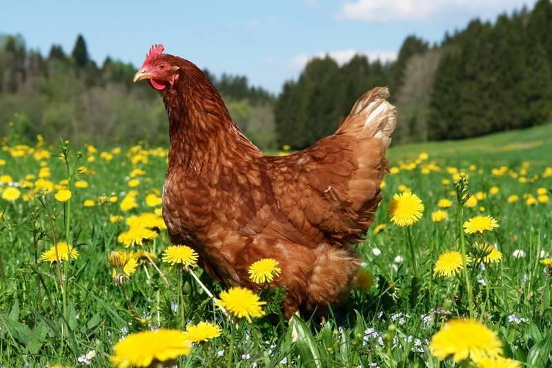 Правила подкормки огурцов куриным пометом в открытом грунте и теплице