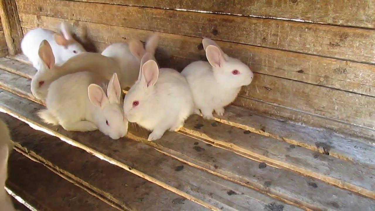 Правила и сроки отсаживания крольчат от самки