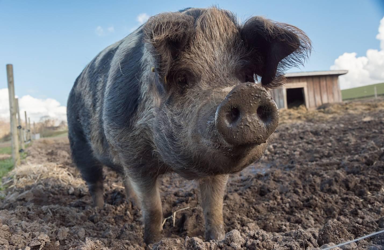 Как использовать свиной навоз для удобрения почвы