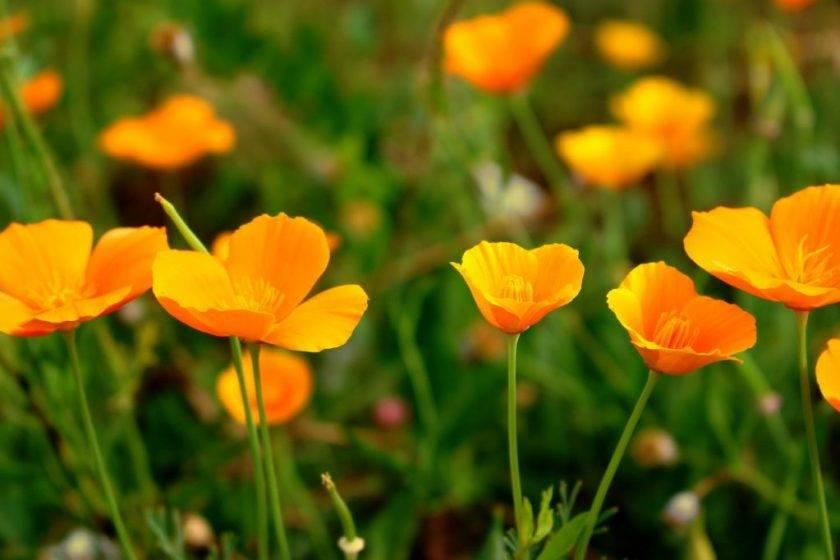 Эшшольция: выращивание из семян, посадка и уход
