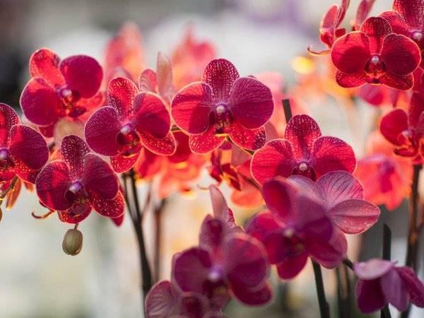 Орхидея фаленопсис — уход в домашних условиях