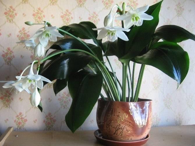 Эухарис — белоснежная комнатная лилия. уход в домашних условиях. фото — ботаничка.ru