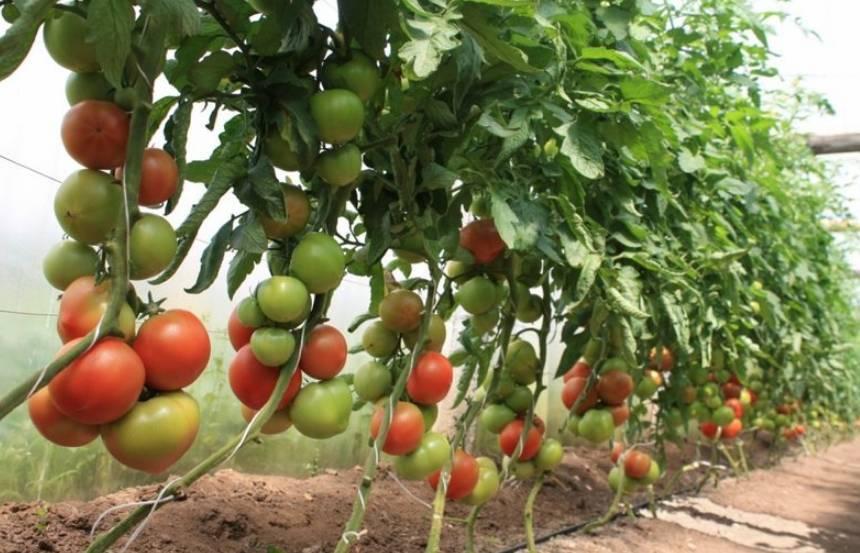 Можно ли сажать помидоры и перец в одной теплице: вместе или рядом