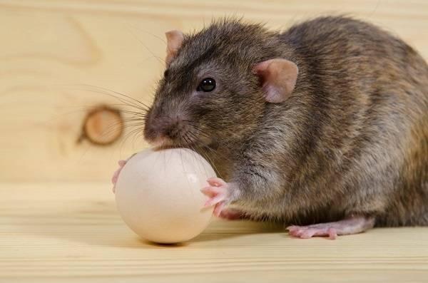 Как в курятнике избавиться от крыс и мышей